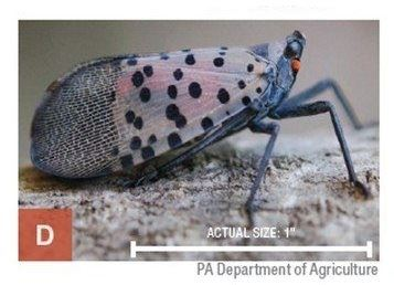 life-stages-of-spotted-lanternfly